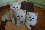 Продажа котят британских шиншилл
