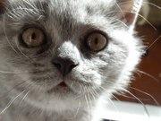 Британский котёнок 2, 5 месяца