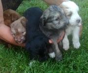 щенки -девочки 1, 5 месяца